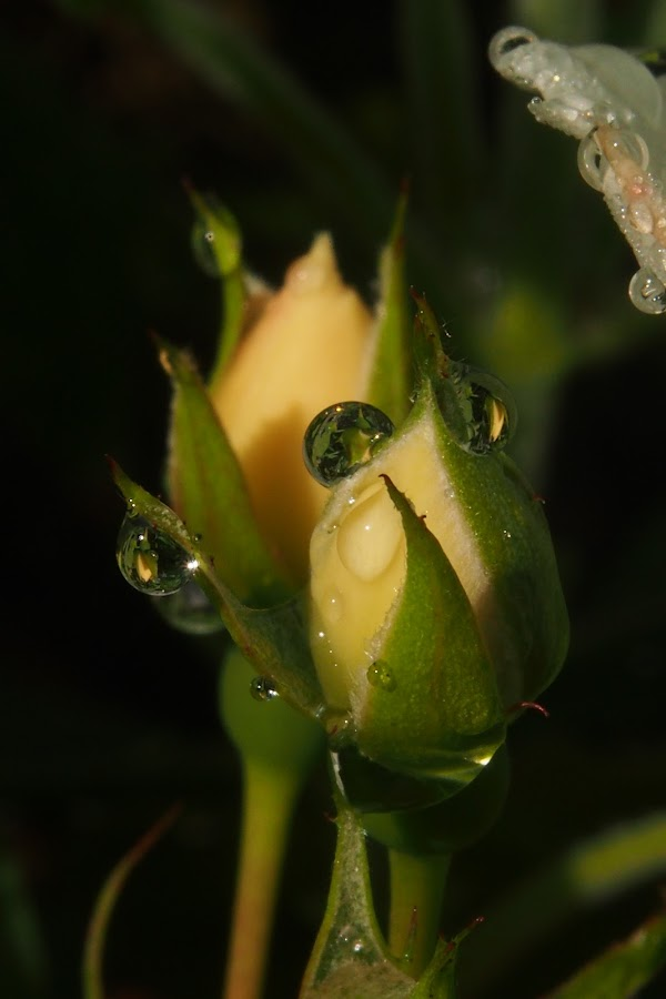 rainy days by Claudia Weber-Gebert - Nature Up Close Natural Waterdrops ( water, rose, macro, single, nature, drop, raindrop, bud, natural, close up, rain, flower,  )