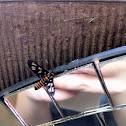 Yellow Banded Wasp Moth