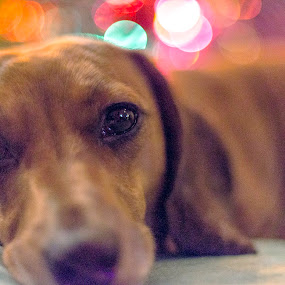 Ollie dog by Kim Verstringhe - Animals - Dogs Portraits ( holiday, prime lens, dachshund, night shot )