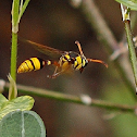 Black-back Potter Wasp