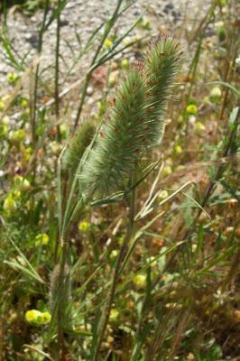 Trifolium angustifolium, Fuchsschwanz-Klee, Narrow Clover, narrow-leaf clover, narrowleaf crimson clover, trevo-de-folhas-estreitas, Trifoglio angustifoglio, trèfle à feuilles étroites, white clover