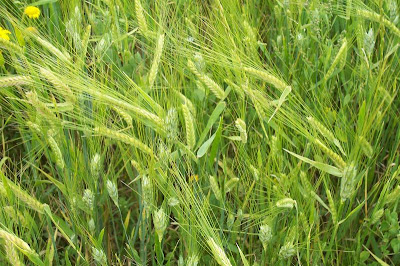 Hordeum vulgare, barley, cereal barley, common barley, Orzo coltivato, Six Rowed Barley