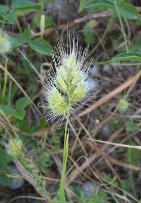 Cynosurus echinatus, bristly dogstail grass, Covetta comune, Rough Dog's Tail