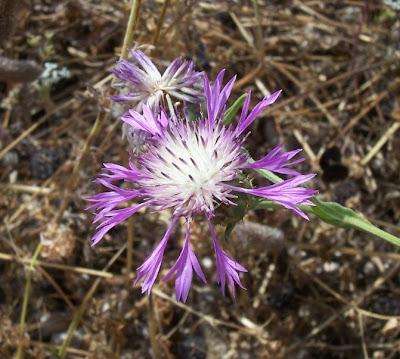 Centaurea subtilis, Fiordaliso garganico