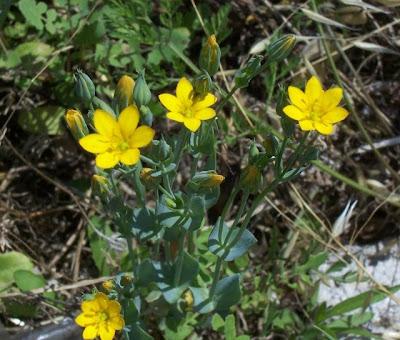 Blackstonia perfoliata, Centauro giallo, Yellow Wort