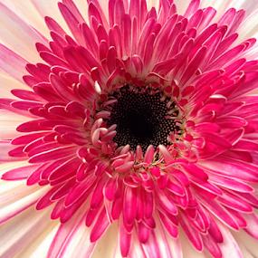 Lollipop Flower Macro by Darlene Lankford Honeycutt - Flowers Single Flower ( lollipop flower, single, white, dl honeycutt, pink, flower,  )
