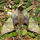 Rubicosa Hawk Moth