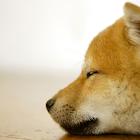 日本柴犬拼图 icon