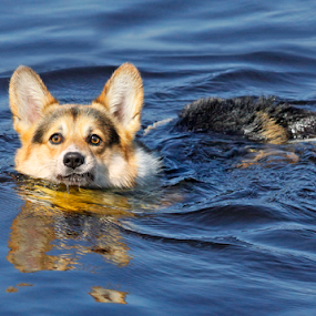 Where's the ball? by Mia Ikonen - Animals - Dogs Playing ( canine, pet, pembroke welsh corgi, funny, summer, finland, lake, dog, swimming, mia ikonen,  )