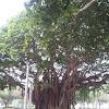 LARGEBANYAN TREET