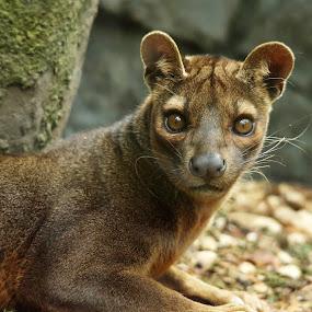 Fossa by Selena Chambers - Animals Other Mammals ( wild, wildlife, fossa, madagascar, animal )