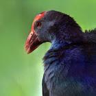 Purple Swamphen