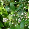 Skunk Vine, Chinese fever vine, Lesser Malayan stinkwort, stink vine