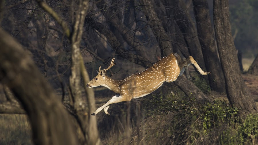 Frozen Mid Air by Manvendra Singh - Animals Other Mammals ( #jumping deer, #spotted deer, #deer, #leaping deer, #jungle )