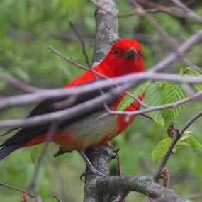 Red Bird by James Dunne - Animals Birds