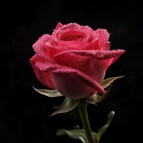 by Cristobal Garciaferro Rubio - Flowers Single Flower