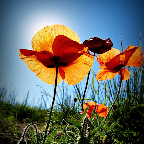 poppies by Ionel Covariuc - Flowers Flowers in the Wild ( picture, poppies, flowers, natrure )