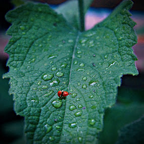love in the rain by John Kolenberg - Animals Insects & Spiders ( love, ladybugs, drops, leaf, garden, flower, rain, Backyard, insects, reptiles, living creatures, green, colors, daily life,  )
