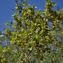 Island Mountain Mahogany