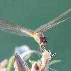 Long-legged Marsh Glider