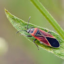 White-crossed seed bug