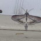 Asteroid Moth