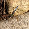 Male Blue Dasher