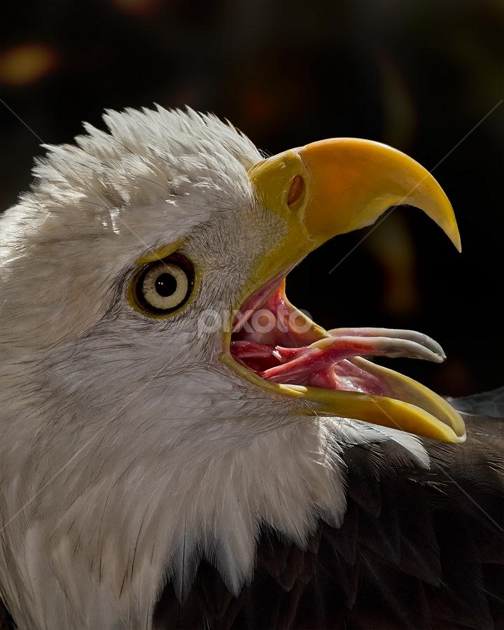 The Scream! by Imran Khan - Animals Birds ( scream, eagle, prey, birds )