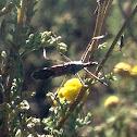 Slender Assassin Bug