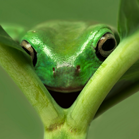 i see you by Robert  Fly - Animals Amphibians ( frog, green, amphibi, photo,  )