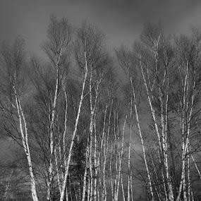 Birch Trees by LeeAnn Heikkila - Black & White Landscapes ( birch, birch trees, trees, forest, landscape )
