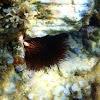 Erizo de mar común