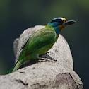 五色鳥 / Taiwan Barbet