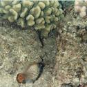 orange tailed file fish