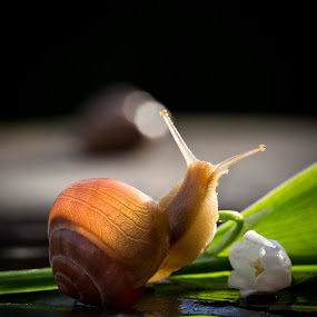 Snail by Manuela Kägi - Animals Insects & Spiders ( smooth, fresh, snail, spring, flower )