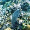 Whitemouth Moray Eel/ Puhi 'ōni'o