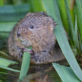 Spent 3.5 hours with the Water Voles this afternoon and was rewarded with  some good pictures.  Very pleased with this one as they don't usually come in front of the reeds.  These voles are in a residential area of Swindon on part of the River Ray.  They are fairly tolerant of people as the area is used regularly by dog walkers and is quite near a school. by Marlene Finlayson - Animals Other Mammals