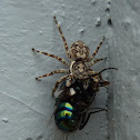 Jumping spider with housefly