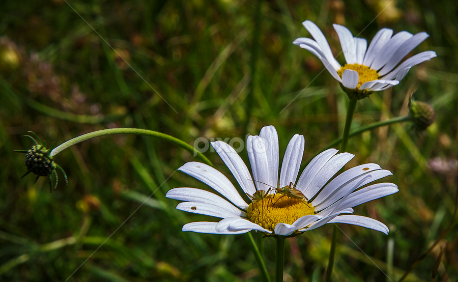 Daisies by Stanislav Horacek - Flowers Flowers in the Wild