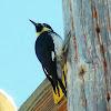 Acorn Wood Pecker