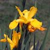 Spuria Iris 'Hickory Leaves'
