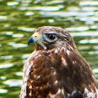Red-shouldered Hawk (immature)