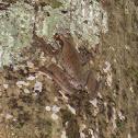 Common bromeliad treefrog