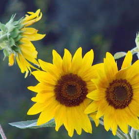 Two Sunflowers Facing the Sun by Nat Bolfan-Stosic - Flowers Flower Gardens ( Hope,  )