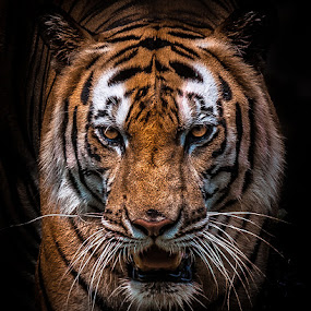 tiger by Ricky Agvirty - Animals Lions, Tigers & Big Cats