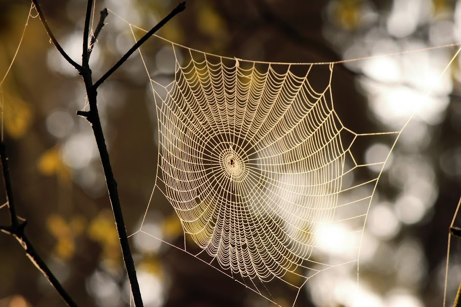 Web and sun rays II by Milan Horejsi - Nature Up Close Webs ( macro, water drops, drop, nature up close, spider )