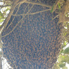 honey bee nest