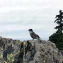 Gray Jay (Northwest)