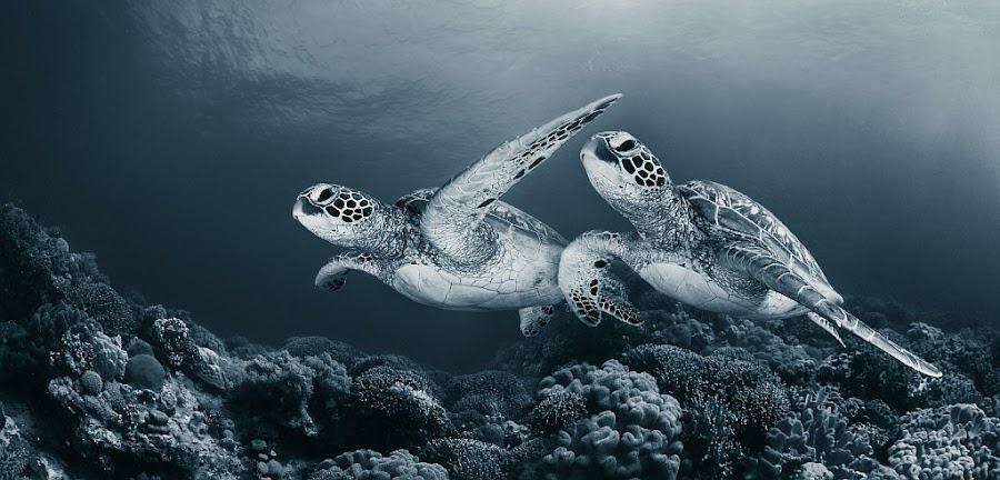 Twin dance by Andrey Narchuk - Animals Sea Creatures ( tone, pair, underwater, sea, turtle )
