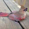 Northern Cardinal (male juvenile)